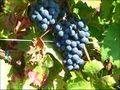 Vignoble de saint pourçain