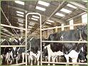 Vaches laitière 3